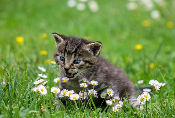 Jak zadbać o uzębienie kota?