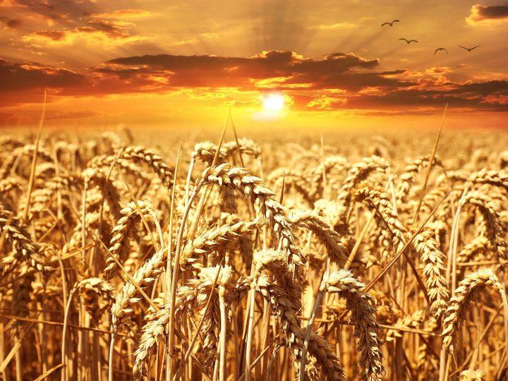 Choroby pszenicy – jak z nimi walczyć?